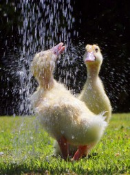 These Adorable Ducklings Have Found The BEST Way To Cool Down