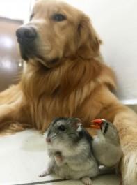 Meet Bob The Golden Retriever: The World's Friendliest Dog!