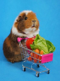 Why It's Better To Be A Guinea Pig When The Sun Shines
