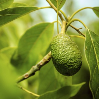 An Avocado Shortage Is Coming (And The Bad News Doesn't End There)